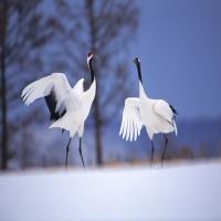 брачный танец журавлей зимою на снегу