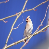 бежевая птица с хохолком