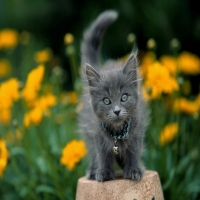 серый котенок с серыми глазами в желтых цветах