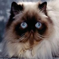 огромный кремовый персидский и сиамский кот