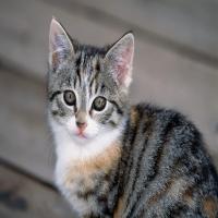темный полосатый котенок