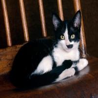 черный кот с пятном на морде гитлер