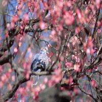 сойка или голубь в розовом дереве