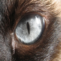 кошачий серый глаз