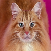 автопортрет красивого кота