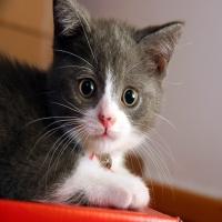 испуганный серый котенок с розовым носом