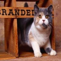 серый с рыжим кот вылазит из коробки