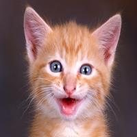 радость голубоглазого котенка с розовым носом