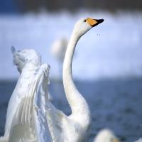 белый лебедь плескается в озере
