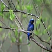 птица сойка на зеленой ветви