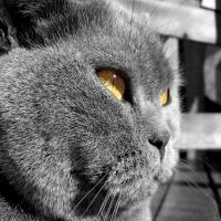 очень серый с голубизной кот с коричневыми глазами