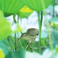 жаворонок или цапля в лилиях на болоте
