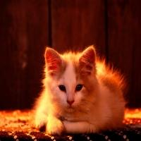 белый кот в лучах заката