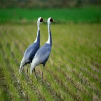 два журавля на рисовом поле