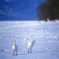 белые лебеди на замерзшем пруду