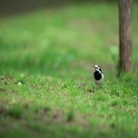 сорока на траве под деревом