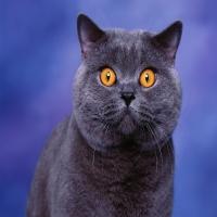 британский русский голубошерстый кот