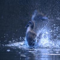 водоплавающая птица, утка взлетает с воды