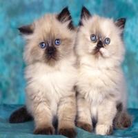 сиамские котята близнецы