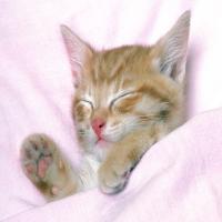 розовые сны рыжего кота